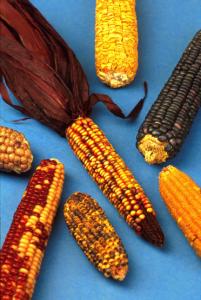 tri color corn